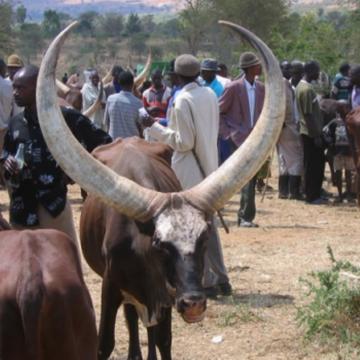 A Poko (Bas-Uele), un afflux massif des Mbororo trouble la quiétude