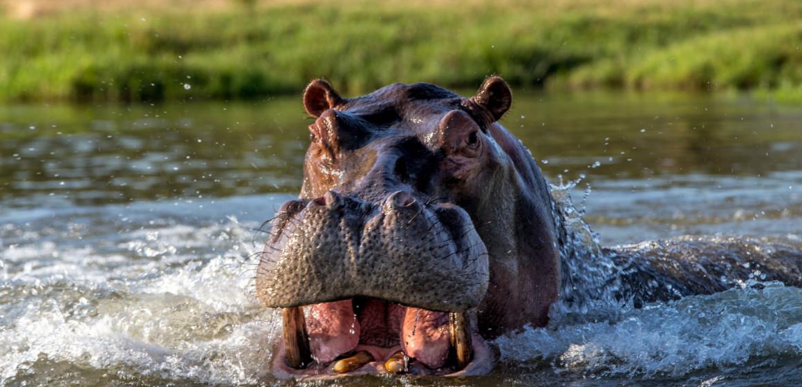 Un hippopotame aperçu sur les berges du port de Ngwele à Kinshasa