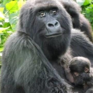 Mesures barrières renforcées après la naissance d'un bébé gorille au Parc des Virunga