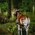 Menacé par les braconniers, l'Okapi va-t-il disparaitre  de l'Ituri ?